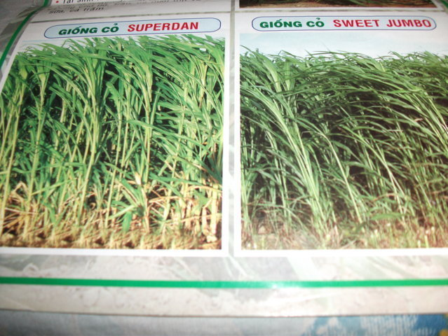 Hạt giống cỏ lai Superdan