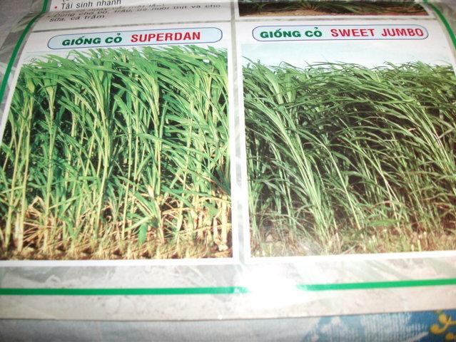 Hạt giống cỏ lai Sweet Jumbo